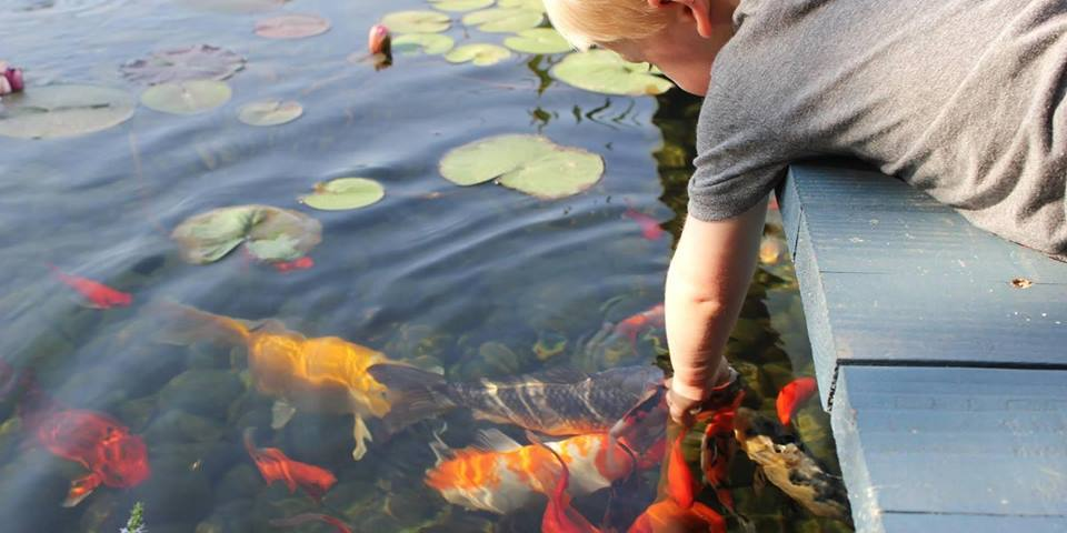 Boy With Hand in Koi Pond